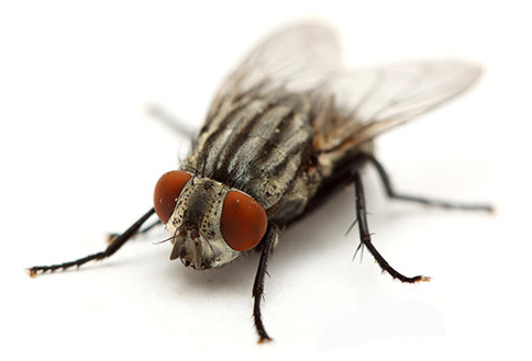 APC Alpine Pest Control Cluster Fly Management