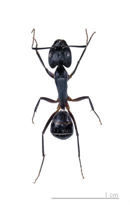 APC ALPINE PEST CONTROL Carpenter Ant Removal