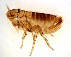 APC Alpine Pest Control Flea Management
