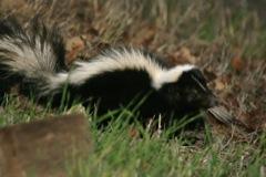 APC ALPINE PEST CONTROL Skunk Removal