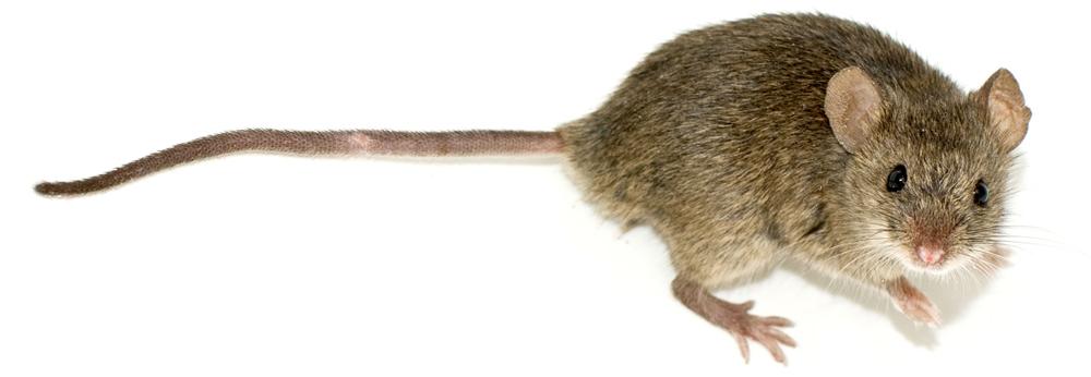 APC Alpine Pest Control Mouse Removal